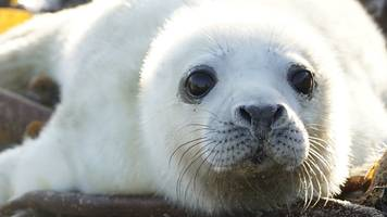 record number of seal pups born at farne islands colony