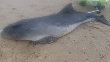 sea palling: dead porpoise washes up on beach