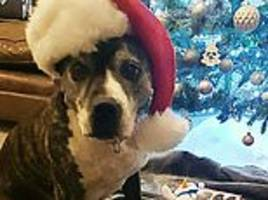 'nervous' staffie named roxy enjoys first christmas with new owners