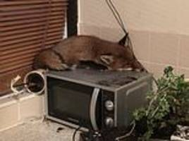 family discover a cheeky fox sleeping on top of their microwave when they come down for breakfast