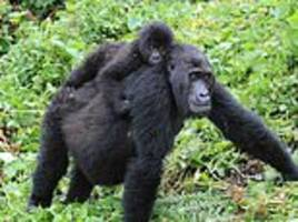 some gorillas have developed webbed feet and other harmful mutations due to inbreeding