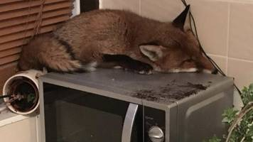 fox found napping on microwave in mitcham home