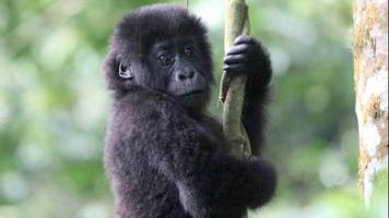 genetic mutations could wipe out eastern lowland gorillas