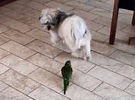 Bossy bird puts dog in a flap as it chases it around  kitchen floor