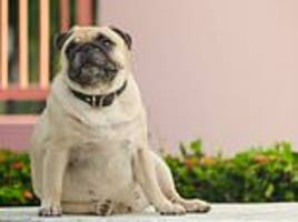 overweight dogs that are spoiled by their doting owners live two years less than healthy pooches