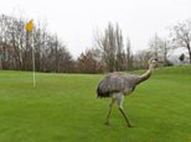 large rhea takes up residence in a worcestershire golf club