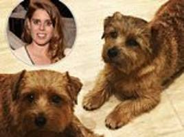 princess beatrice mourning loss of dog after it 'dies after eating poison on walk in windsor park'
