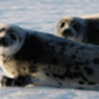 Seals on roads, seals in driveways, seals at front doors: A Canadian town faces a marine invasion