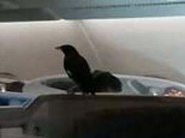 Stowaway bird makes surprise appearance during Singapore Airlines flight to Heathrow