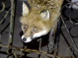daft as a (basil) brush! fox has to be rescued after getting stuck between bars of a garden gate
