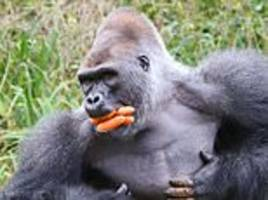 gorilla kiondo is caught on camera shoving carrots in his mouth