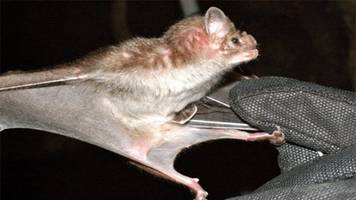 vampire bat venom could soon be used for medical treatments, study says