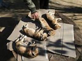 litter of lion cubs freeze to death two hours after they were born at gaza strip zoo