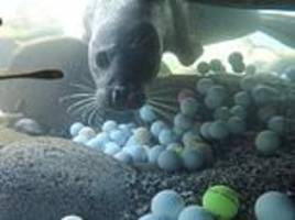teen diver and father spend two years hauling 50,000 golf balls out of ocean off california