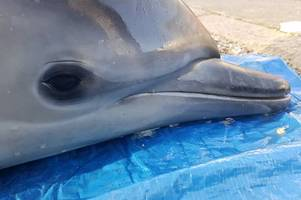 heartbreak as young dolphin is discovered dead near beach