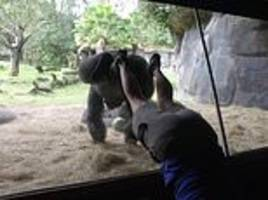 gorilla copies trainer and does a handstand against the other side of the enclosure glass