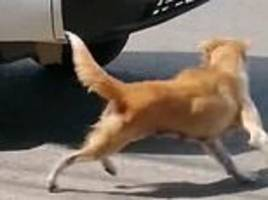 mother dog barks and runs into traffic as she tries to get help for her puppy after it's run over