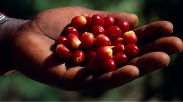 coffee species face extinction, report says