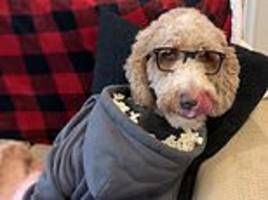 dog owner finds the ultimate snack hack for his goldendoodle – while he watches tv in glasses