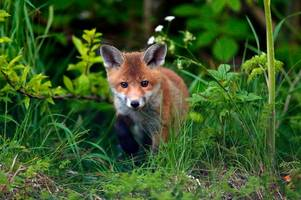 disgust as 'hunt chases fox and panics birds' near world-renowned gloucestershire wildlife attraction