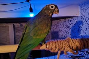 Sausage the escaped baby parrot found thanks to her twin brother Chico