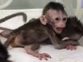 five cloned monkeys created in china using the same technique that produced dolly the sheep