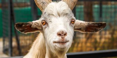 Twitter CEO Jack Dorsey says Mark Zuckerberg once served him a goat he apparently killed himself (FB, TWTR)