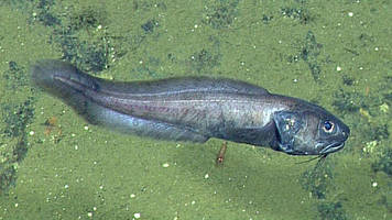 biologists using underwater robot discover deep-sea fish living where there is 'virtually no oxygen'