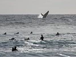 not the wave they were expecting! humpback whale gestures with its flipper to surfers in mexico