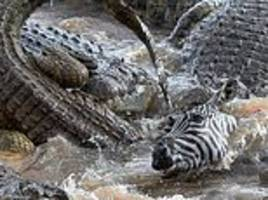 zebra is ripped apart by forty hungry crocodiles... with one of the beasts swallowing a leg whole