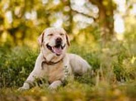 bigger dogs are 'more intelligent' than handbag-sized hounds, new research claims