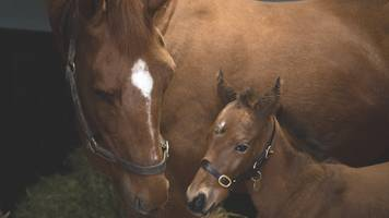 annie power and galileo: foal born at coolmore stud causes stir in racing