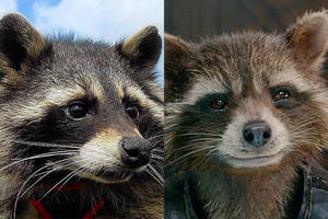 oreo the raccoon, inspiration for 'guardians of the galaxy' character rocket, dies