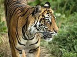 london zoo chief speaks of horrifying moment female tiger was mauled to death by mate