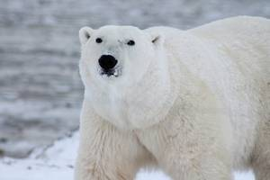 Polar Bears Invade Remote Arctic Russian Town