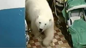 invasion of the polar bears in russia