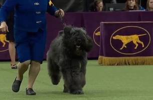 Baby Lars the Bouvier des Flandres wins the 2019 Westminster Kennel Club Herding Group