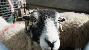 sheep rescuer pulled from river medway by firefighters