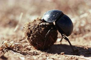 insects need a marketing campaign to save them - it's time to adopt a dung beetle