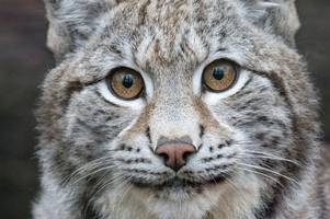 wild lynx cats to be reintroduced in trial at this scottish site