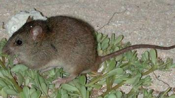 Australian Rodent Becomes First 'Climate Change Extinction'