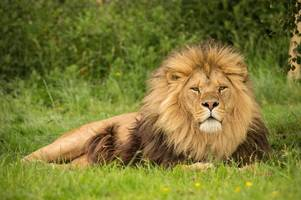 popular knowsley safari park lion mojo killed by lionesses in enclosure