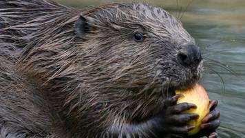 Beavers 'to become protected species' in Scotland