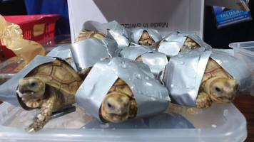 philippine police find 1,500 duct-taped turtles in luggage