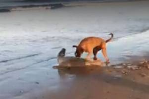 dog owner lets pet attack stricken seal pup in harrowing video