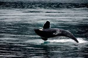 scientists discover new kind of killer whale