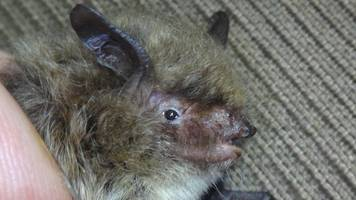 rare tiny bat discovered in caves in wiltshire