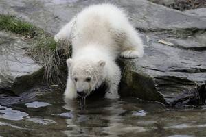 berlin zoo shows off new polar bear cub