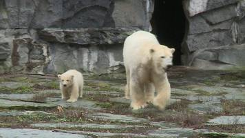 baby polar bear takes first steps at berlin zoo