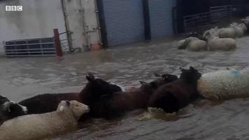 lucky escape for sheep trapped in flood water